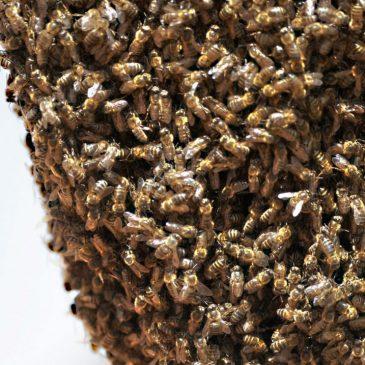 Les abeilles démoniaques de Satan